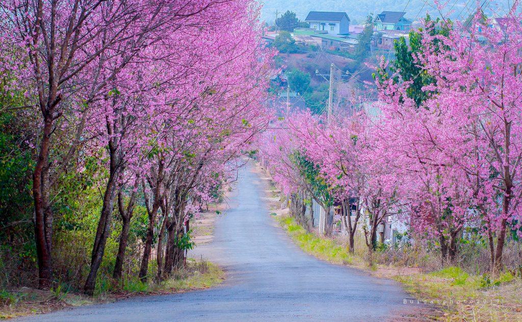Mùa xuân Đà Lạt nổi tiếng với hoa mai anh đào